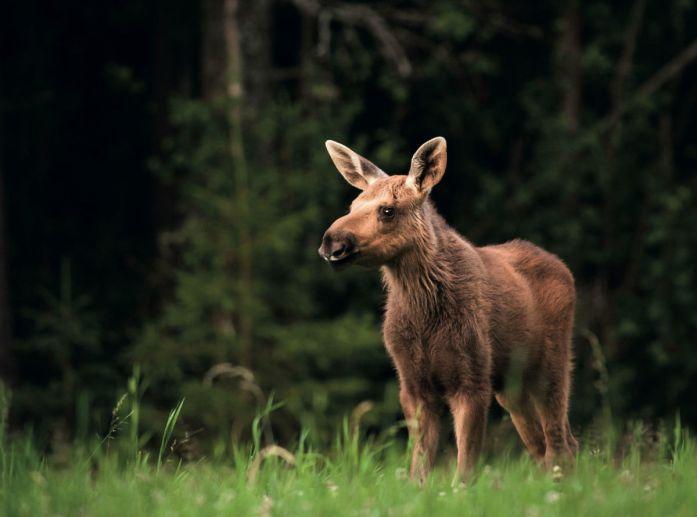 Moose calf in Sweden