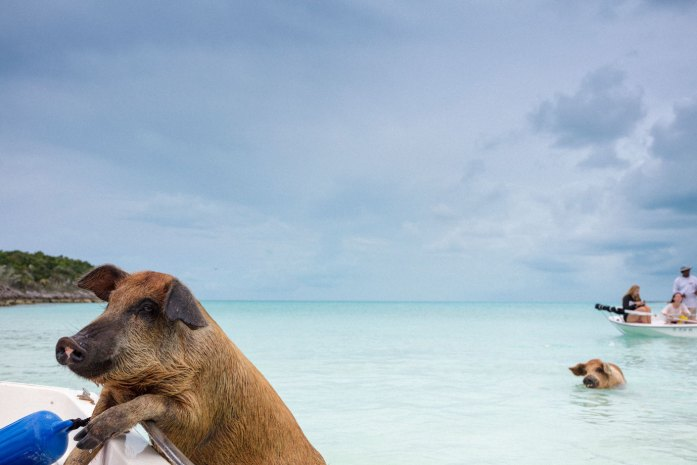 Swimming pigs of Exuma, on the Bahamian uninhabited Pig Island.