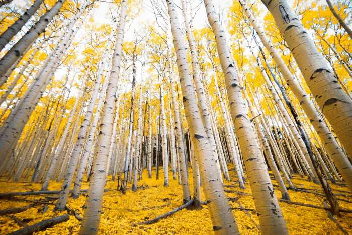Aspen trees with golden yellow fall colors in the autumn mountains of Flagstaff, Arizo
