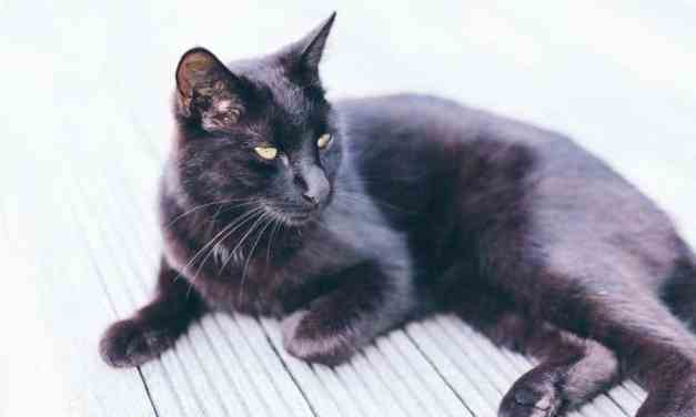 Bombay Cat Breeds – What to Consider Before Getting One