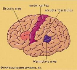 Left brain, language areas with connecting neural bundle. Motor cortex shown to orient view