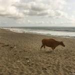Ja, das ist eine Kuh. Am Strand. Warum sollen die Menschen den auch ganz für sich haben?