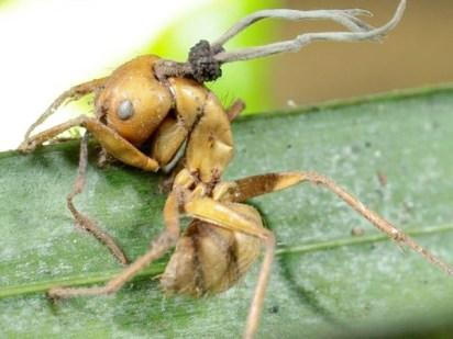 """Una """"ramificazione"""" della nuova specie di fungo Ophiocordyceps camponoti-balzani"""