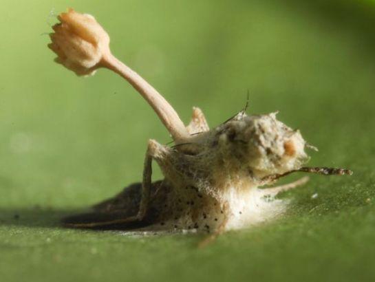 molte specie di insetti non sono più facilmente identificabili una volta che il fungo si è diffuso attorno al corpo, come nel caso di questa mosca