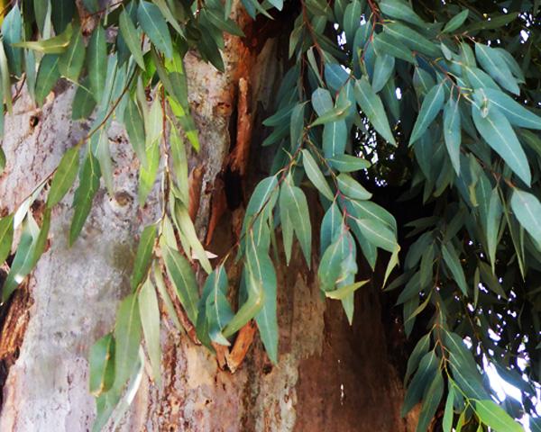 eucalyptus 600 x 480