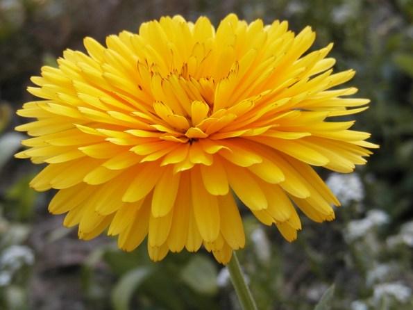 hydrolat (eau florale) de calendula ou souci des jardins