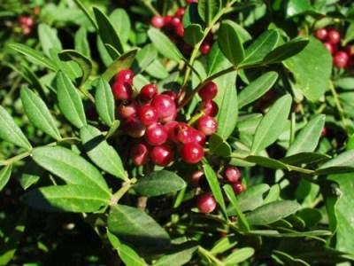hydrolat de lentisque pistachier