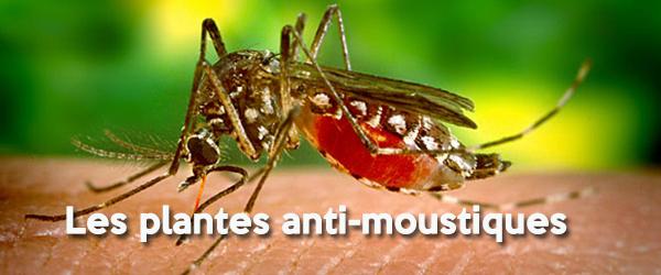 Les plantes anti moustiques