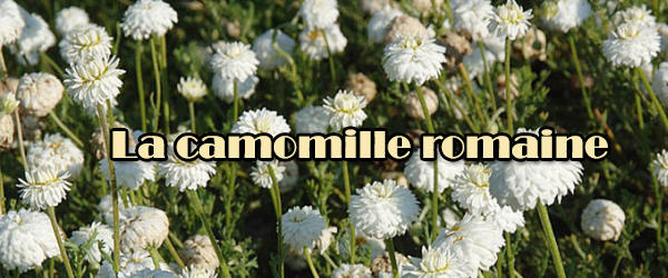 camomille-romaine-600-x-250