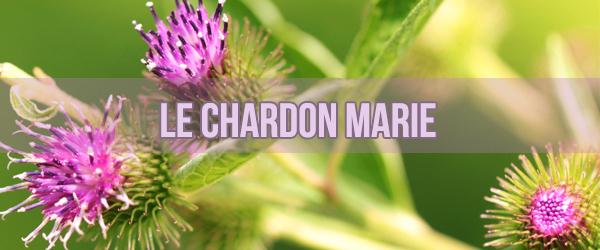 Le chardon marie, une plante alliée du foie