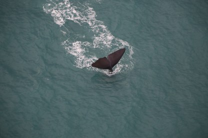 A Sperm Whale diving off the coast of Kaikoura, New Zealand to hunt for food.