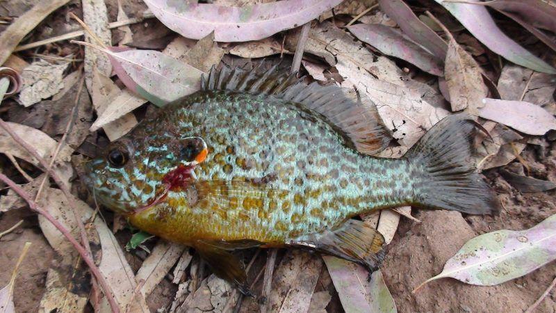 Especies de Pesca Exóticas Dañinas
