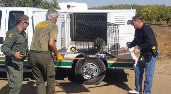 Merced Sheriff's find kit fox locked in cage during
