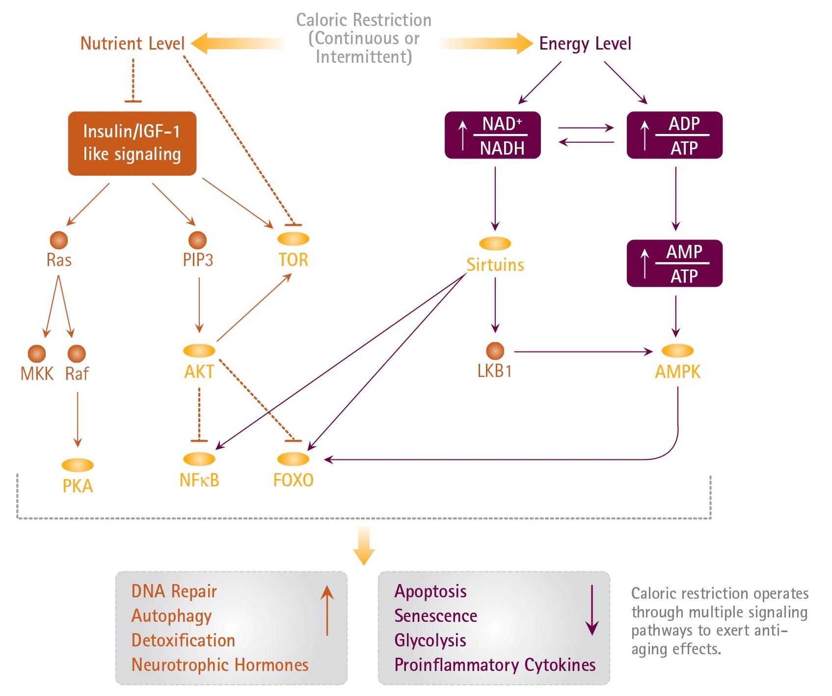 Deregulated Nutrient Sensing   Life Science Research   Merck