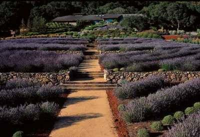 3 ways to eat, drink and play at lavender festivals in