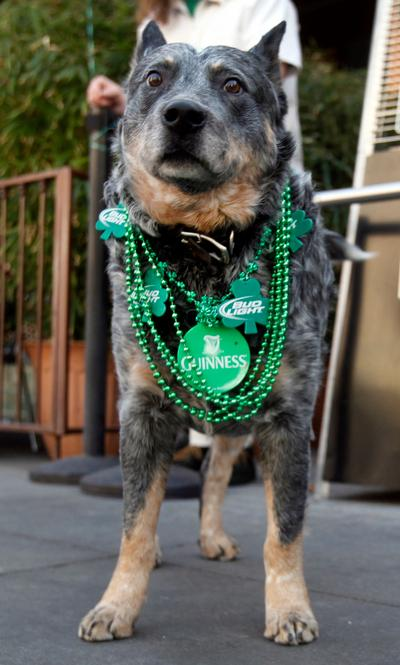 A decorated dog waits outside O'Flaherty's Irish Pub in downtown San Jose, Calif. as crowds celebrated St. Patrick's Day on Sunday afternoon March 17, 2013. (Karl Mondon/Staff)