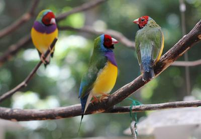 Lady Gouldian finches rest on a branch inside an aviary at Pandemonium Aviaries bird sanctuary in Los Altos Hills on Tuesday, Aug. 21, 2012. Founder Michele Raffin used her Los Altos Hills home as a place to rescue birds when she formed the nonprofit in 1996. Today, Pandemonium Aviaries is a conservation organization dedicated to saving endangered birds. The Lady Gouldian finch is on the IUCN Red List of Threatened Species as a near threatened species. (Kirstina Sangsahachart / Daily News)