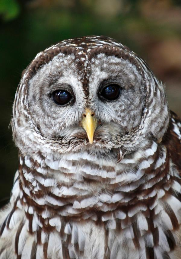 This June 7, 2011 file photo shows a barred owl at the Miami Science Museum in Miami. An experiment to see if killing invasive barred owls will help the threatened Northern spotted owl reverse its decline toward extinction is underway in the forests of Northern California. The U.S. Fish and Wildlife Service said Friday, Dec. 20, 2013, that specially trained biologists have shot 26 barred owls in a study area on the Hoopa Valley Indian Reservation located northeast of Arcata, Calif. They plan to remove as many as 118. (AP Photo/Wilfredo Lee, File)