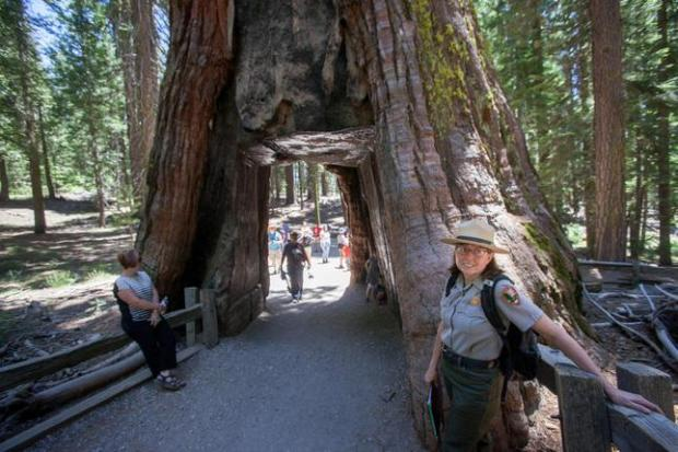 "Restoration ecologist Sue Beatty in front of the California Tunnel Tree, a giant sequoia in Mariposa Grove in Yosemite National Park, Friday, June 20, 2014. In the height of the Civil War on June 30, 1864, Abraham Lincoln signed a bill into law that set aside Yosemite Valley and the massive sequoia trees of the Mariposa Grove near it for public use ""inalienable for all time."" Yosemite leaders and parks supporters will mark the 150th anniversary of that historic event -- the beginning of America's national parks system -- on Monday with speeches, celebrations and events. They'll also begin work on a $36 million restoration of the Mariposa Grove, designed to restore the solitude of its 2,000-year-old sequoia groves. (Patrick Tehan/Bay Area News Group)"