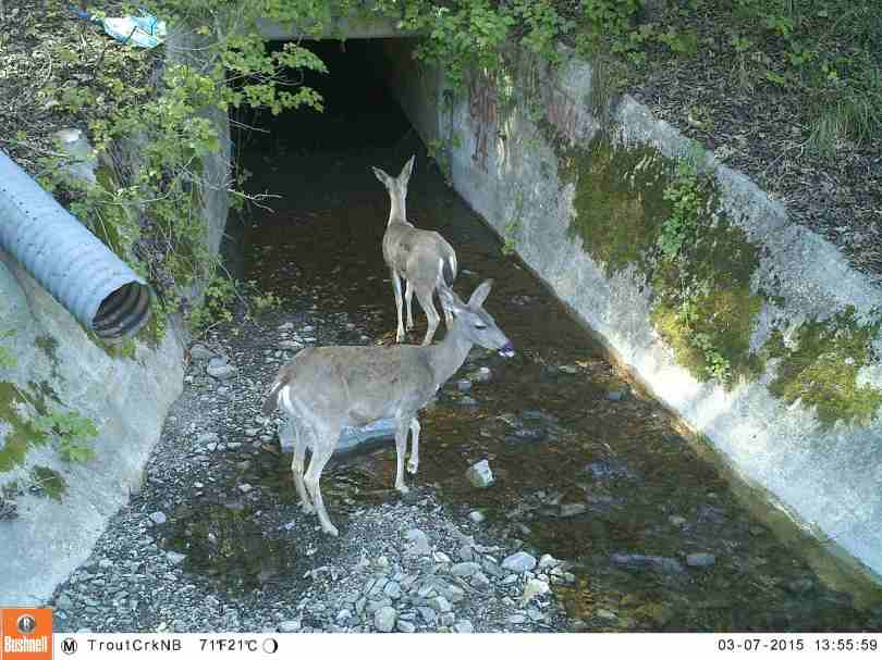 Deer investigate a culvert near Trout Creek in Los Gatos. But it is too dark and narrow to allow safe passage under Highway 17.