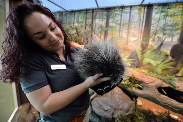 Brittany Buenvenida, a senior keeper at Lindsay Wildlife Experience, holds the new porcupine that will be among the animal rehab hospital's live animal ambassadors in Walnut Creek, Calif., on Thursday, Oct. 13, 2016. (Kristopher Skinner/Bay Area News Group)