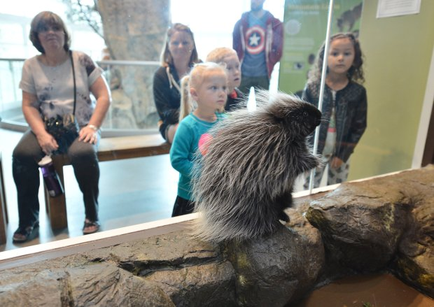 A North American porcupine has joined the ranks of the Lindsay Wildlife Experience's live animal ambassadors in Walnut Creek, Calif., on Thursday, Oct. 13, 2016. (Kristopher Skinner/Bay Area News Group)