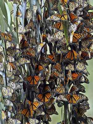 Monarch butterflies gather at the Pacific Grove butterfly grove. Nick Stong, who counts the butterflies on Saturday mornings, said it's surprising how many butterflies can pack together in a relatively small space. (Vern Fisher — Monterey Herald files)