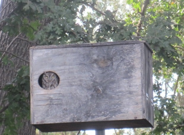 Western screech owl in nesting box, in Alamo. (Courtesy of Lou Lucibello)