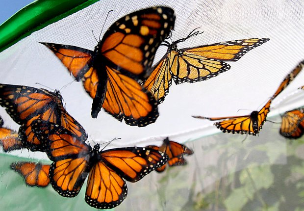 Monarch butterflies spread their wings as the temperature warms Monday prior to being released into nature. (Shmuel Thaler -- Santa Cruz Sentinel)
