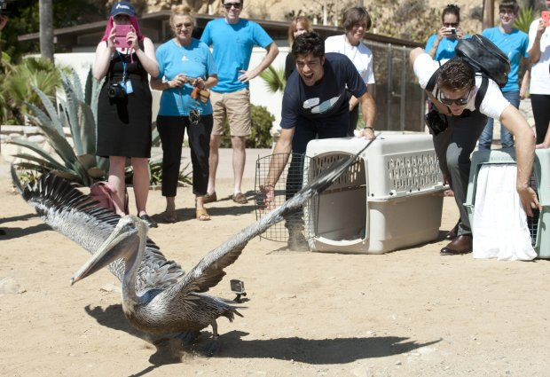An injured pelican is released after receiving treatment and care at International Bird Rescue in Fairfield. (Courtesy of Dawn)
