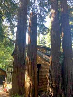 A heritage redwood tree, estimated to be at least 100-feet tall, was illegally removed from the driveway at 55 Madrone Ave. in Larkspur. This 20-foot stump remained in the driveway until an emergency tree removal permit was issued on Aug. 17. (Courtesy of Scott Shurtz — Larkspur Fire Chief)