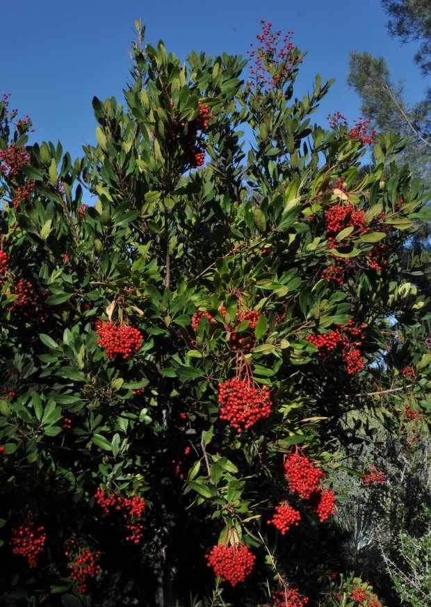 The toyon (Heteromeles arbutifolia) in holiday bloom.(Courtesy of Brian Kemble)