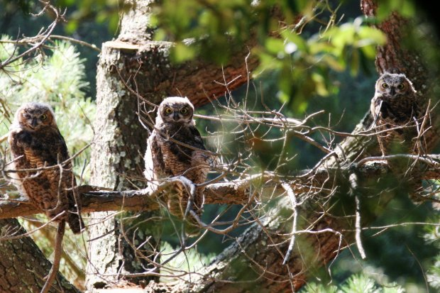 A trio of young great horned owls.Courtesy of David L. Thompson