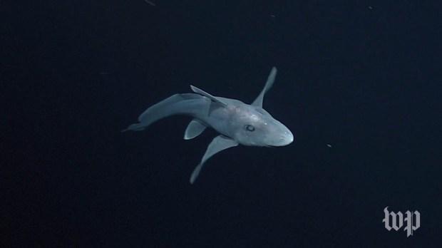 Monterey Bay Aquarium Releases Video Of Rare Ghost Shark