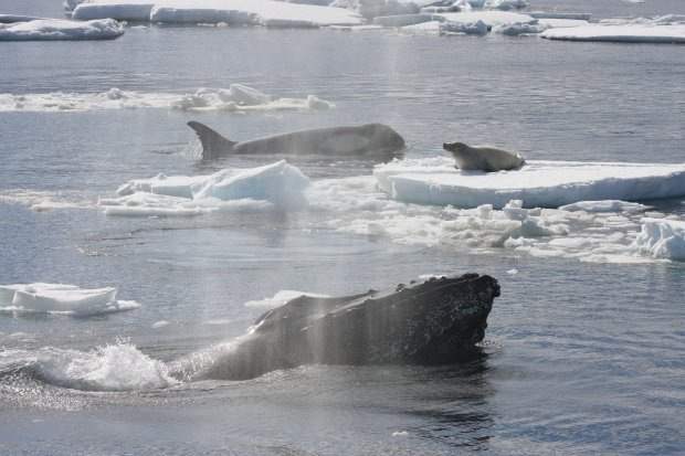A humpback whale with a Weddell seal on its chest off the coast of the Antarctic Peninsula.