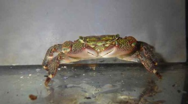 Monterey Bay Aquarium Research Institute researchers have discovered this very common tidepool crab is actually a carnivorous predator. (Contributed -- Joshua Lord, MBARI)