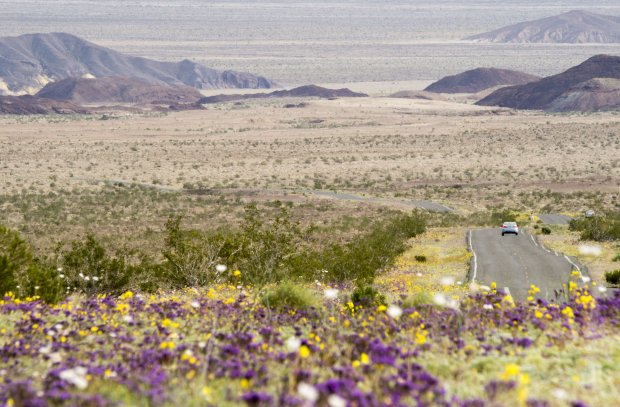 "Wildflowers line a road in Death Valley National Park, in Death Valley,California, March 3, 2016. Unusally heavy rainfall in October trigged a ""super bloom,"" carpeting Death Valley National Park, the hottest and driest place in North America, in gold, purple, white and pink. The bloom is the parks largest in a decade. / AFP / ROBYN BECK (Photo credit should read ROBYN BECK/AFP/Getty Images)"