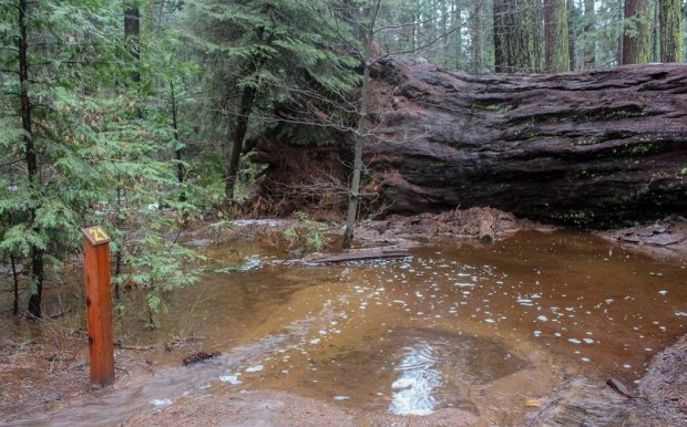 fallen big tree