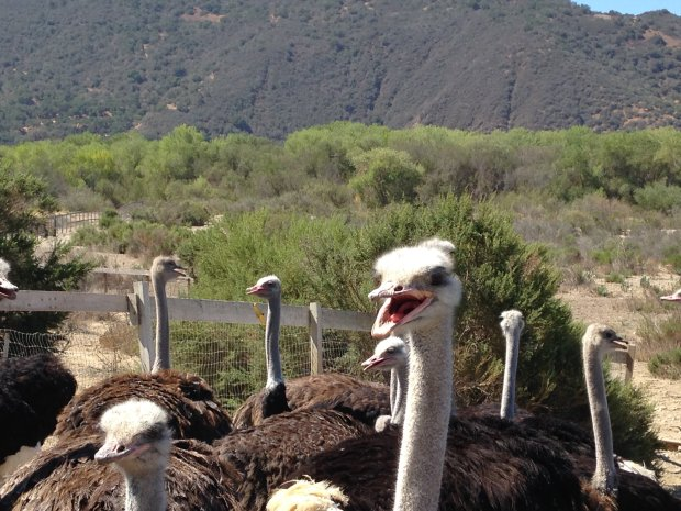 "Solvang - and its ostrich farm - was one of the prime destinations in themovie ""Sideways,"" which celebrated its 10th anniversary this year. (Jackie Burrell/Staff)"