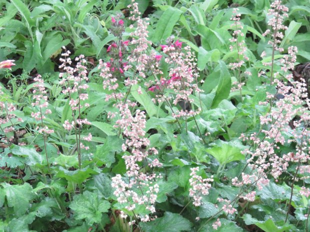 Huechera, also known as coral bells, pairs nicely with Salvia spathacea(hummingbird sage), and both will grow well in a shaded garden spot. (Courtesy of Patrice Hanlon)