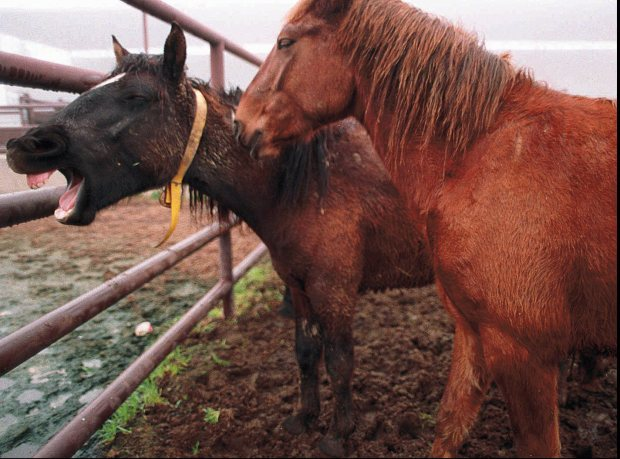 Two wild horses await sale at the Kern County fairgrounds. They're part of the BLM's Adopt a Horse or Burro program. (AP Photo/Bakersfield Californian, Julie Rogers)