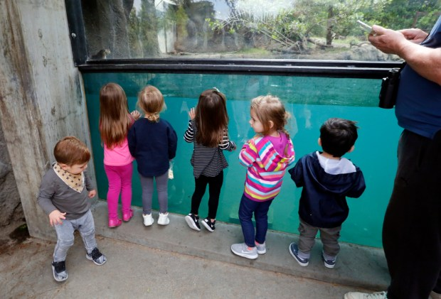 Children from a San Ramon area play group line up to catch a glimpse of the new North American River otter pups at the Oakland Zoo in Oakland, Calif., on Wednesday, May 10, 2017. Two girls and one boy were born about three month ago and are now big enough to venture out, swim and thrill zoo guests. This is the second litter for Rose and Wyatt, the parents of the three new pups. The River Otter exhibit is located in the Wayne and Gladys Valley Children's Zoo. (Laura A. Oda/Bay Area News Group)