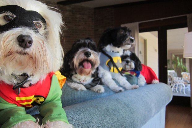 Batman to the rescue, along with the rest of the Havanese Social Club.(Courtesy of Marcela Davison Aviles)