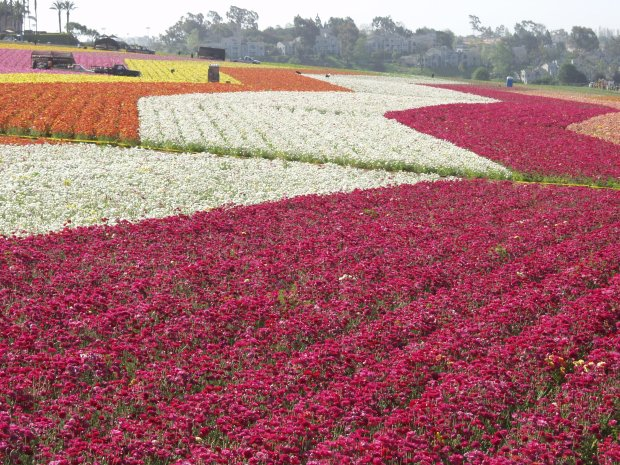 Fifty acres of blooming, giant ranunculus turn The Flower Fields inCarlsbad to a riot of color each spring. This stunning flower farm hosts special events each year, including a Field to Vase Dinner. (Photo: The Flower Fields)