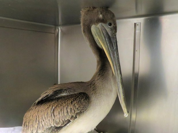 This year-old pelican's life was saved by creative care from the Peninsula Humane Society & SPCA Wildlife Care Center staff on May 23, 2017. (PHS/SPCA photo)