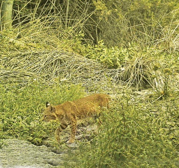 A bobcat crosses through Fisher Creek in the Coyote Valley in San Jose, California sometime in 2002. The Santa Clara Valley Open Space Authority and the Peninsula Open Space Trust has unveiled a new plan in June 2017 to preserve open space in Coyote Valley between Morgan Hill and South San Jose. (Photo Courtesy of Santa Clara Valley Open Space Authority)
