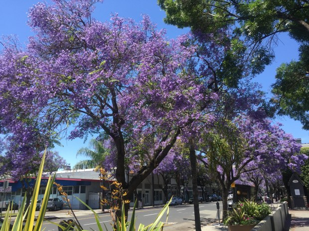 Blooming jacaranda trees have been a popular photograph subject for downtown San Jose visitors this spring.