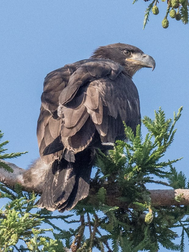 An American bald eagle, which hatched in April, ventures last Friday beyond its nest at Curtner Elementary School in Milpitas. Local eagle watchers have seen the eaglet flying above the campus routinely while its parents remain close by. Photo by Stan Szeto