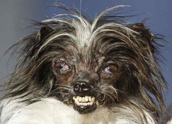 """In this June 20, 2014, file photo, Peanut, a 2-year-old mutt is held by owner Holly Chandler after winning the World's Ugliest Dog Contest at the Sonoma-Marin Fair in Petaluma. The annual World's Ugliest Dog Contest celebrates homely pooches for their inner beauty in Petaluma. Organizers say the pooches will face off in a red carpet walk and """"Faux Paw Fashion Show"""" during Friday's events. It's intended to show that all dogs, regardless of physical appearance, can be lovable additions to any family. (AP FILE PHOTO)"""