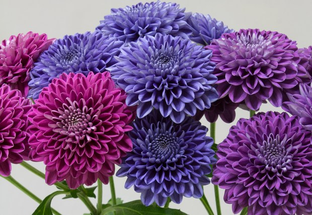 Naonobu Noda/NARO Decorative magenta/blue/purple mums (T10 line)